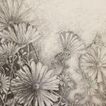 Redland Yurara Art Society - Major Autumn Art Exhibition - 'A Daisy a Day'- David Constable - Drawing